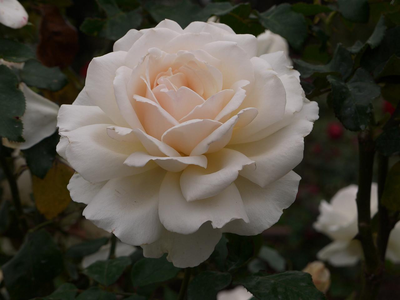 20120419_1057_0053 rose
