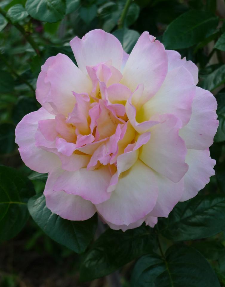 20120417_0809_6455 rose