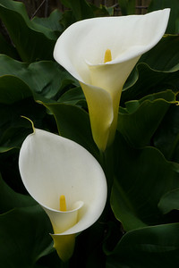 20120815_1606_2548 arum lily
