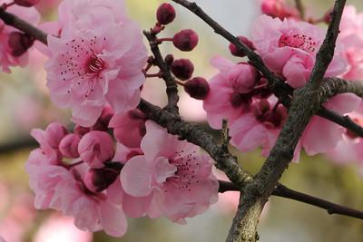 20120806_1610_2019 plum blossom