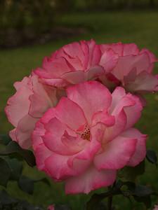 20120419_1301_0075 rose