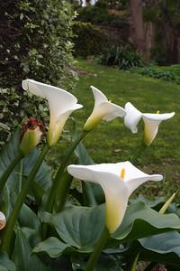 20120712_1151_2012 arum lilies