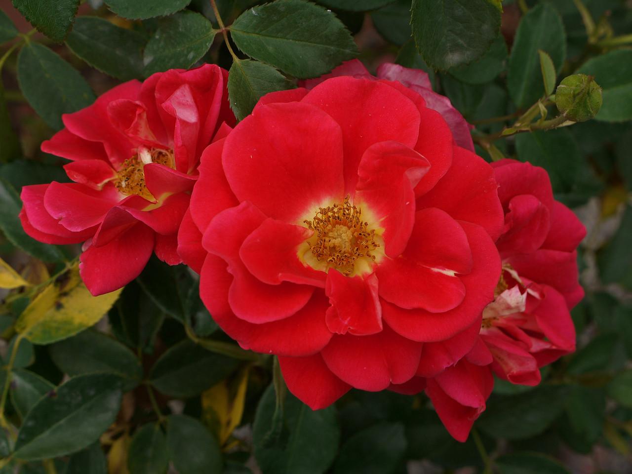 20120419_1341_0097 rose