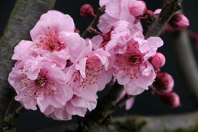 20120810_1007_2183 plum blossom