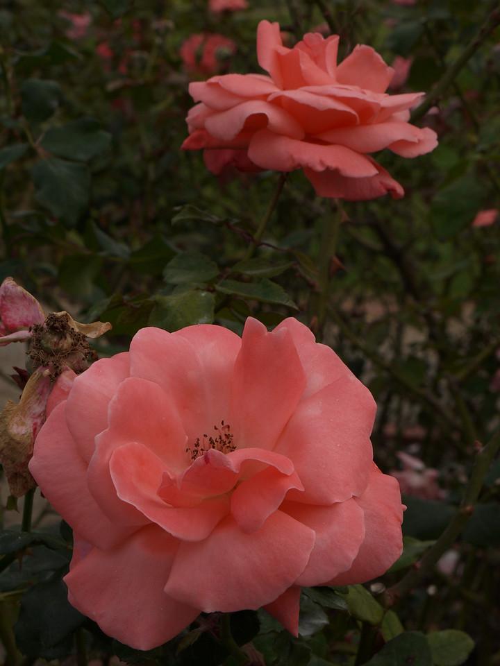 20120419_1324_0087 rose