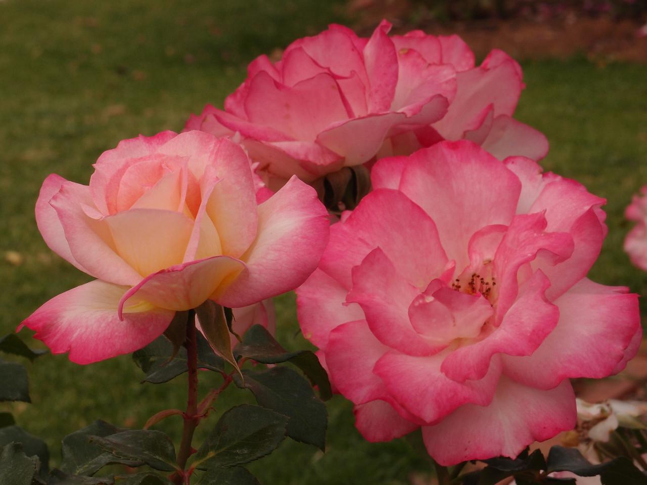 20120419_1303_0204 rose