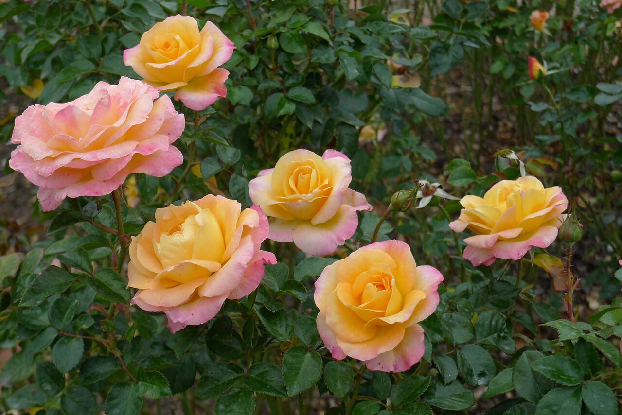 20120419_1137_6546 rose