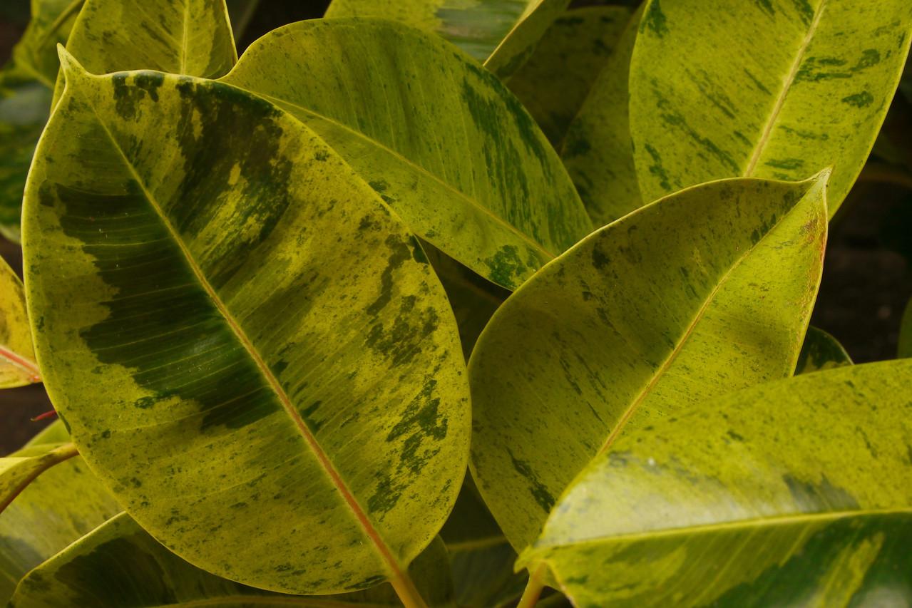20120712_1251_1535 rubber plant (Pentax-A 35-70)
