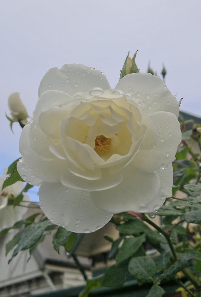 20120424_0956_286 rose