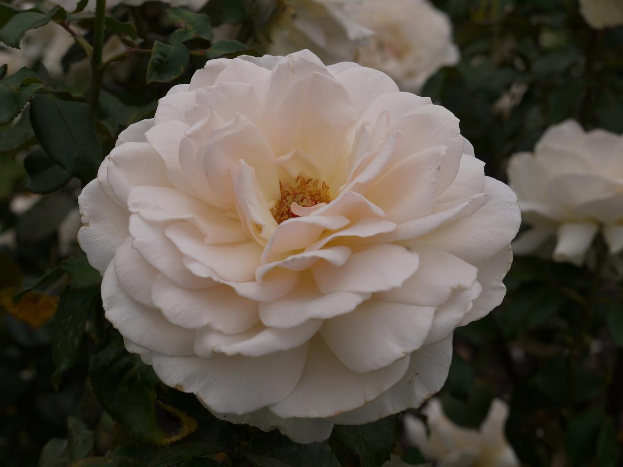 20120419_1058_0055 rose