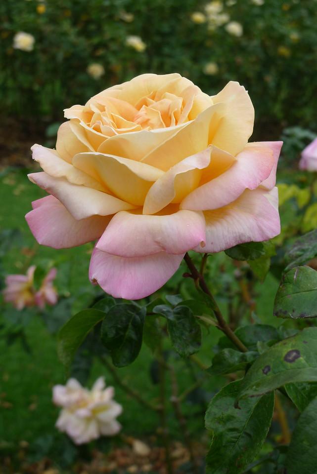 20120419_1438_0651 rose