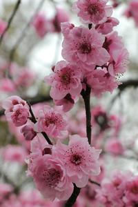 20120809_1005_2095 plum blossom