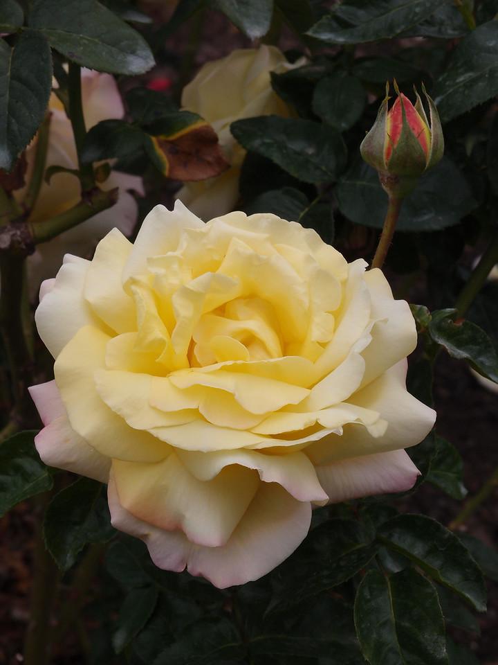 20120419_1152_0186 rose