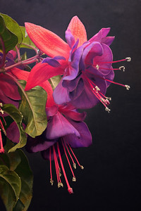 20120707_1054_1263 fuschia (Panasonic GH1, Pentax-A 35-70) Image stacked with ZereneStacker, post-processed with LightZone