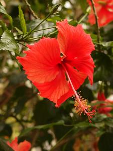 20120513_1452_0433 hibiscus (北京植物园)