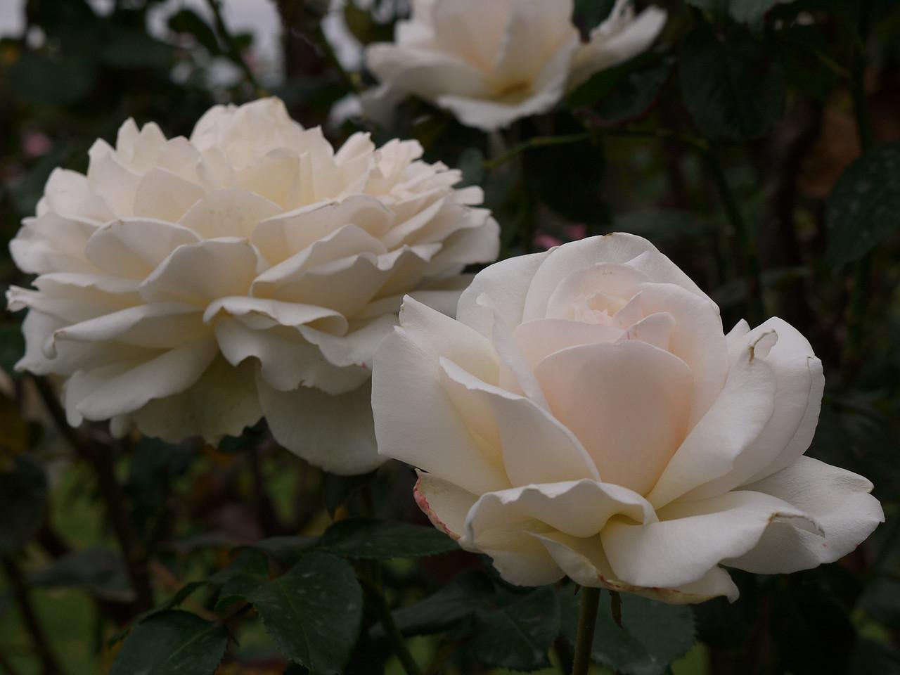 20120419_1056_0051 rose
