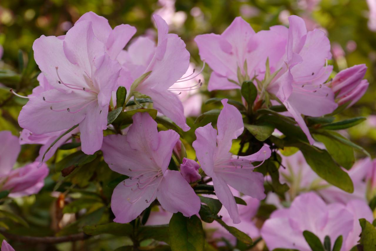 20120531_0951_0034 azalea (in Melbourne) actual date 20120602