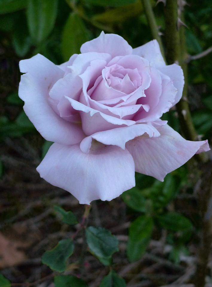 20120524_0748_0899 rose