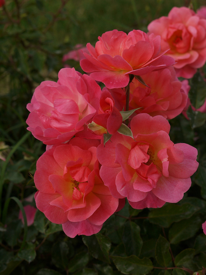 20120419_1327_0089 rose