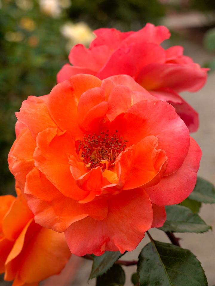 20120419_1337_0094 rose