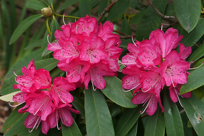 20120819_0927_2700 rhododendron