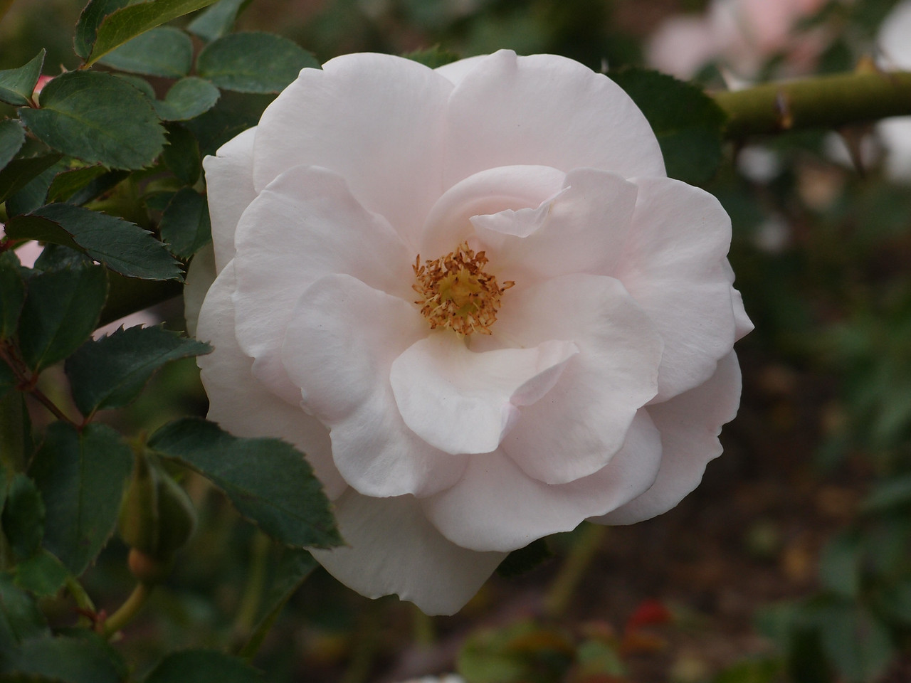 20120429_1041_0235 rose (Sydney Botanical Gardens)
