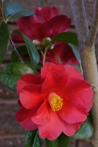 20120809_0946_2068 camellia
