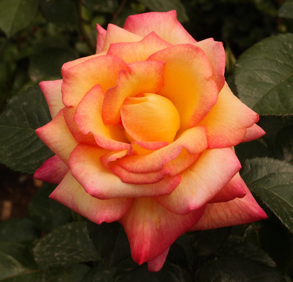 20120513_1336_0344 rose (Beijing Botanical Gardens)