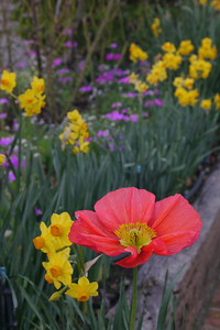 20120708_1619_1383 poppy, daffodils (Pentax-A 35-70)