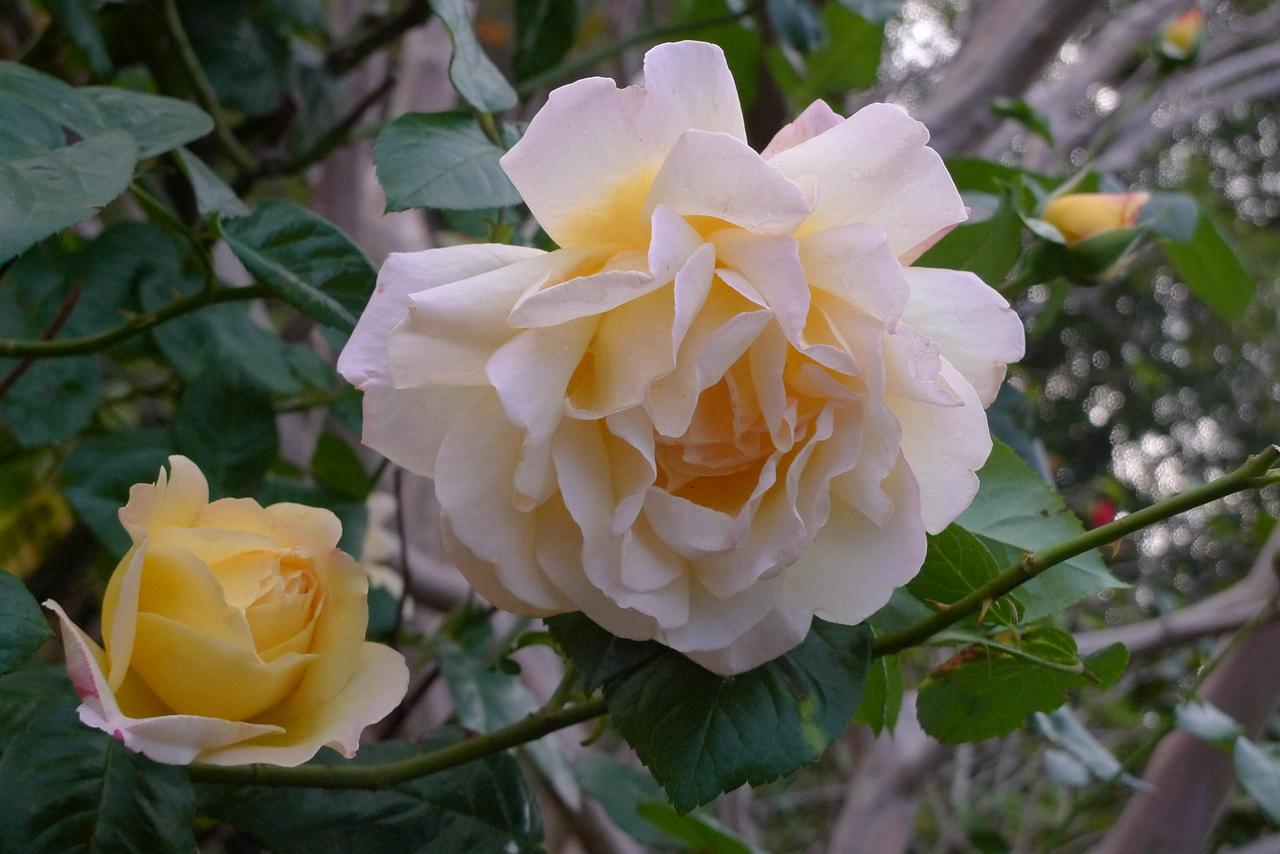 20120424_0723_0692 rose