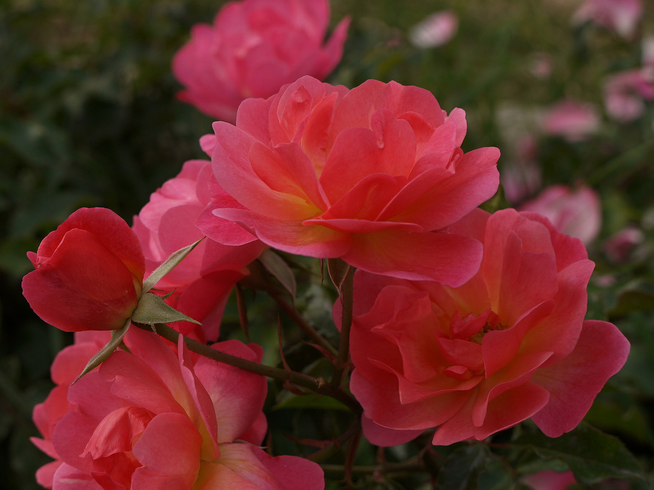 20120419_1328_0092 rose