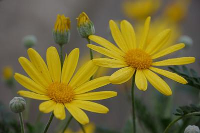 20120531_0932_026 daisy. Melbourne (actually 20120602)