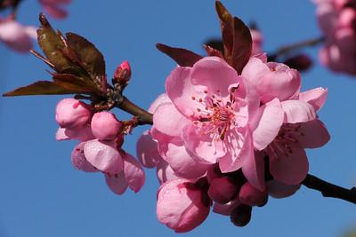 20120813_1010_2439 plum blossom
