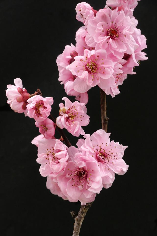 20120810_143_2239 plum blossom
