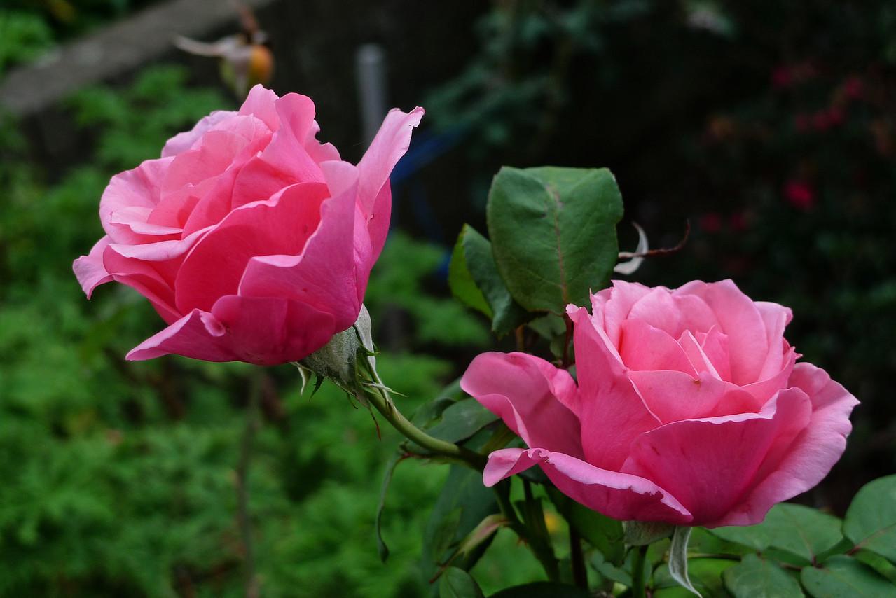 20120417_0805_6451 rose