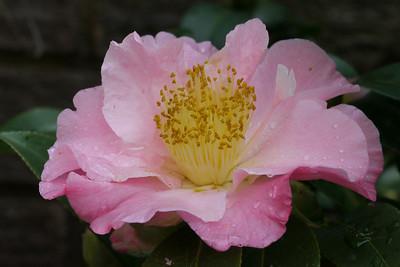20120804_0953_1846 camellia