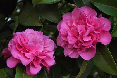20120811_0857_2291 camellia