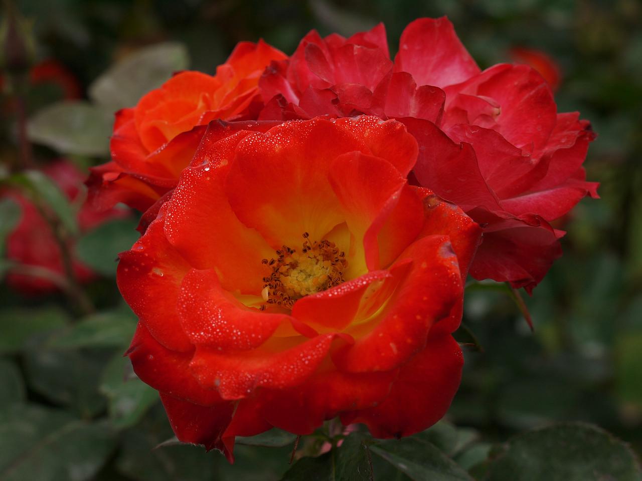 20120419_1119_0059 rose