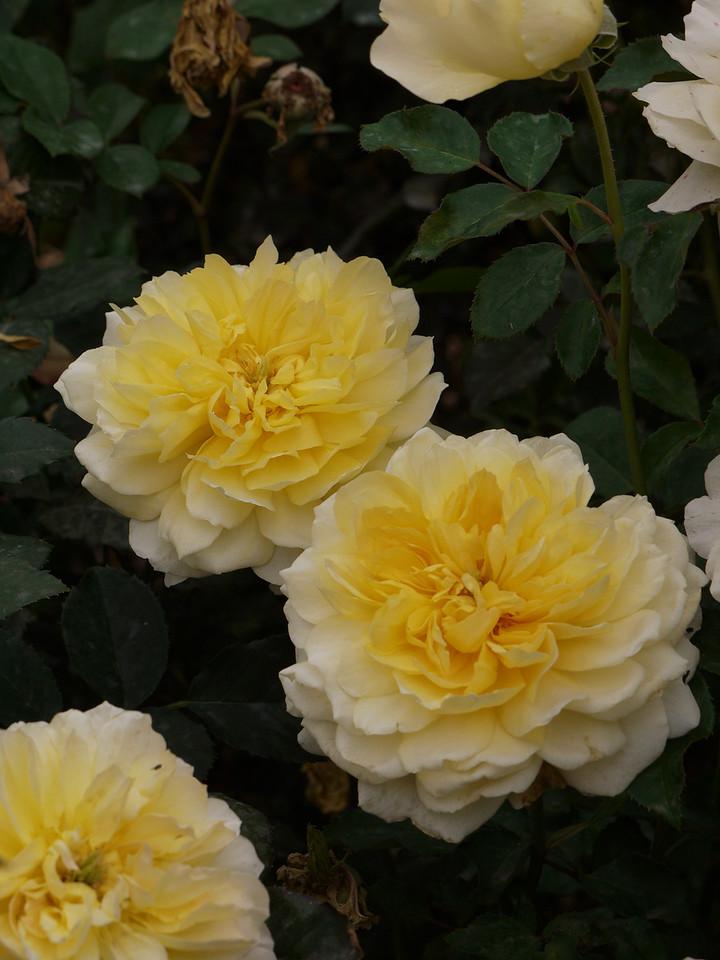 20120419_1315_0076 rose