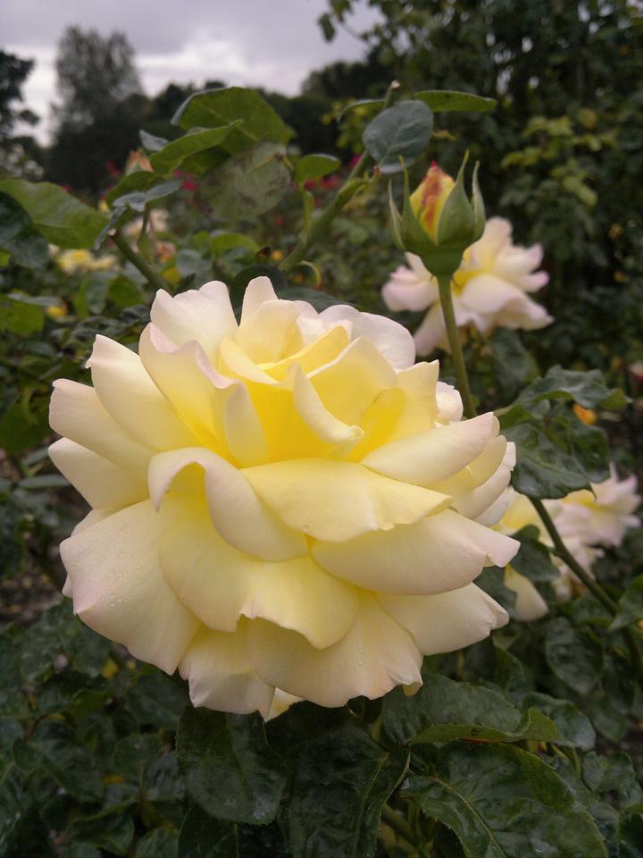 20120419_1150_0274 rose