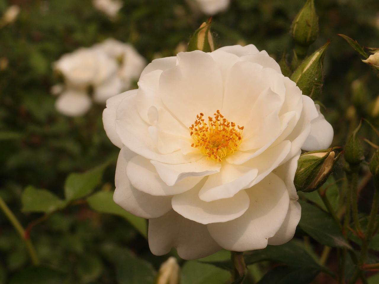 20120513_1419_0402 rose