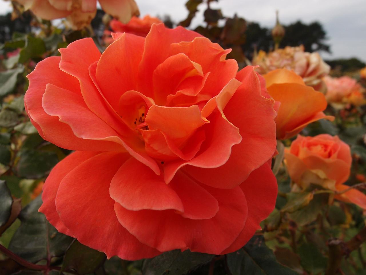 20120419_1219_0199 rose
