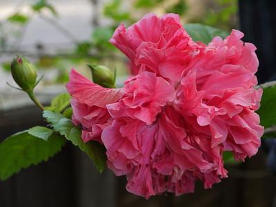 20120401_1641_0012 hibiscus