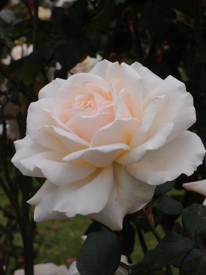 20120419_1104_0172 rose
