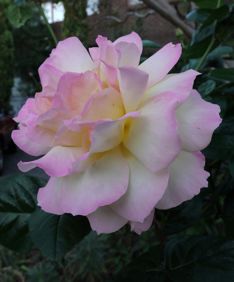 20120415_1731_0046 rose