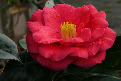 20120804_0944_1836 camellia