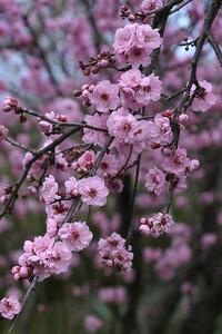 20120805_1556_1946 plum blossom