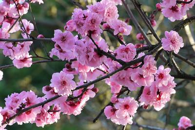 20120806_0837_1982 plum blossum