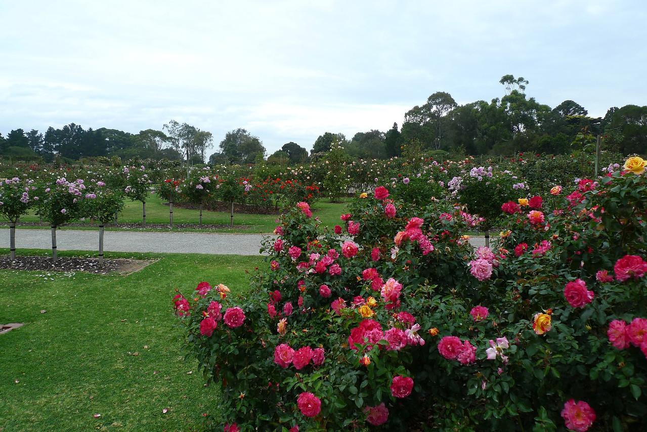 20120419_1116_6537 State Rose Garden, Werribee, Victoria