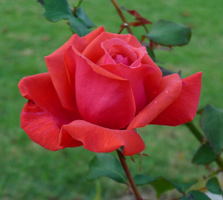 20120417_0858_6477 rose